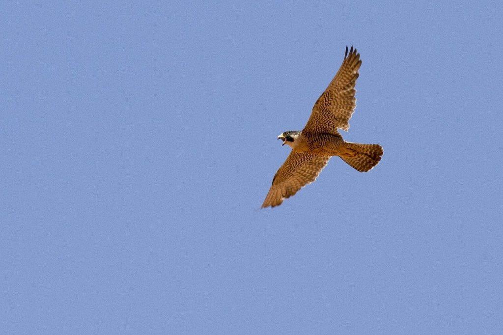 Bird of prey pest service