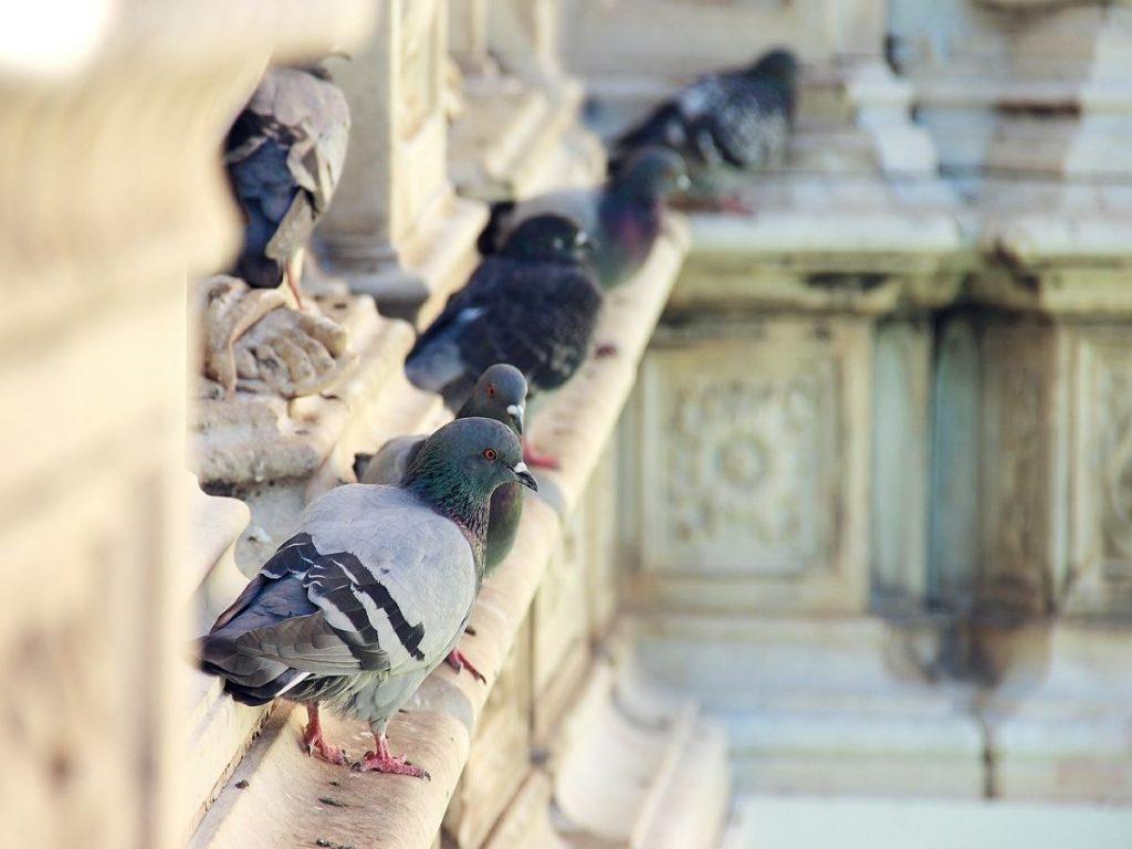 pigeon-control-london