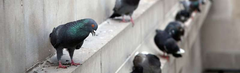 Pigeon control for London buildings