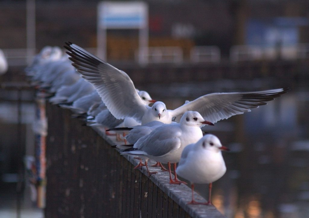 Seagull pests in London